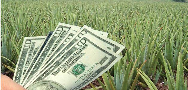 فوت کوزه گری پرورش گیاه آلوئه ورا - کاشت گیاه آلوئه ورا دارای ارزش تجاری قابل توجهی است. در این مقاله با تجارت آلوئه ورا یا طلای سبز -این کاکتوس بسیار مقاوم- آشنا شوید.